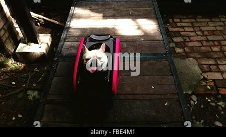 High Angle View Of französische Bulldogge In Tasche - Stockfoto