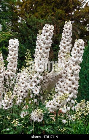 Groß weiß Delphinium Blumen in einem krautigen Rand eines englischen Gartens - Stockfoto