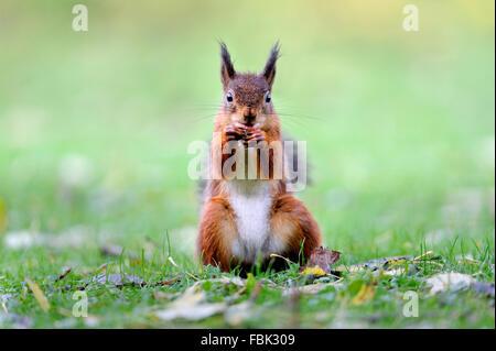 Eichhörnchen (Sciurus Vulgaris) sitzen auf Hanken mit Haselnuss in Mund, auf der Wiese im Garten, im Newlands-Tal - Stockfoto