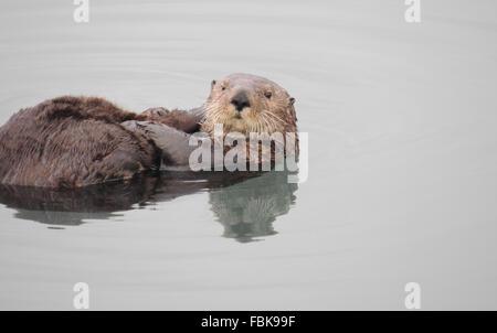 Seeotter (Enhydra Lutris). Seeotter sind eines der kleinsten der Marine Mammal Familie aber eines der größten der - Stockfoto