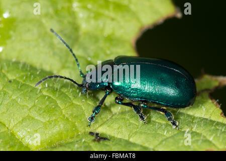 Irisierende grüner Käfer (Altica SP.) auf einem Blatt - Stockfoto