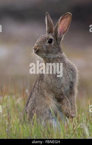 Europäischen Kaninchen (Oryctolagus Cuniculus) stehenden Warnung - Stockfoto