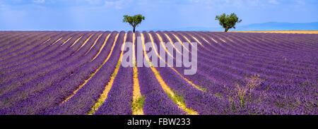 Lavendel-Feld mit Olivenbäumen in Valensole an einem Sommernachmittag. Südalpen (Alpes de Haute Provence), Südfrankreich. - Stockfoto