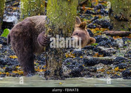 Coastal Grizzlybär (Ursus Arctos) auf Nahrungssuche an Muscheln auf einem alten dock im schönen Knight Inlet, British - Stockfoto