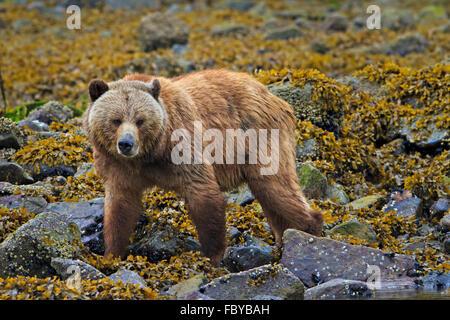 Coastal Grizzlybär Weibchen auf Nahrungssuche an einem regnerischen Tag entlang der Küste von British Columbia, - Stockfoto