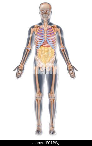Mann mit normalen Bauch Anatomie, Magen, Leber, Bauchspeicheldrüse ...