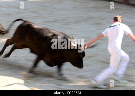 Stierkampf (Kurs Camargue). Eine unblutige Spektakel (für die Bulls), Ziel ist es, eine Rosette aus schnappen, die - Stockfoto