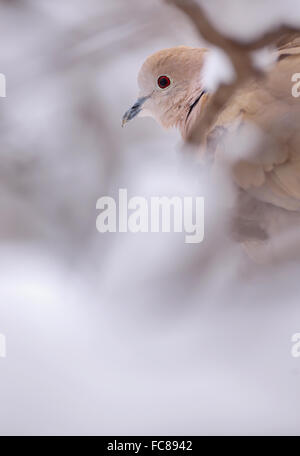 Eurasische Halsband-Taube im winter - Stockfoto