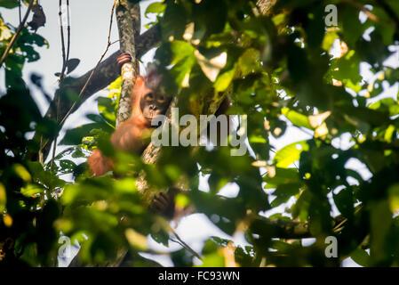Wilde jungen männlichen Bornean Orang-Utans (Pongo Pygmaeus Morio) späht durch Baumblätter im Kutai National Park. - Stockfoto
