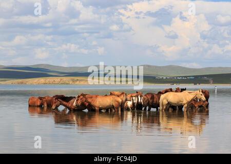 Herde von Pferden und Fohlen abkühlen, indem Sie sich in einem See im Sommer, Arkhangai, Mongolei, Zentralasien, - Stockfoto