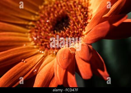 Orange Blüte mit Wassertropfen - Stockfoto