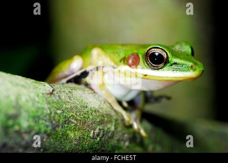 Frosch (Hylarana Megalonesa) in Kubah Nationalpark, Sarawak, Malaysia, Borneo. - Stockfoto