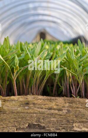Wachsenden Bio-Gemüse in Nord-Bulgarien - Stockfoto