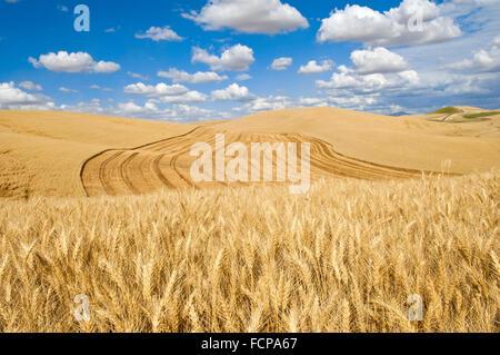 Blauer Himmel mit Wolken über Hügel von einem teilweise geernteten Weizenfeld in der Palouse Region Washington - Stockfoto