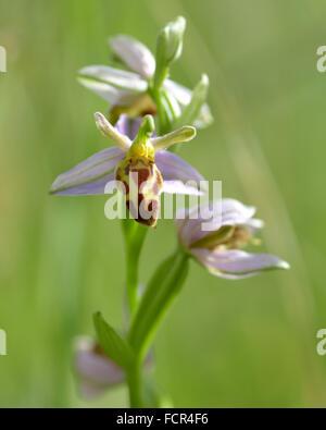 Biene Orchidee (Ophrys Apifera Var Belgarum). Eine ungewöhnliche Variante dieser Orchidee wächst auf kalkhaltigen - Stockfoto