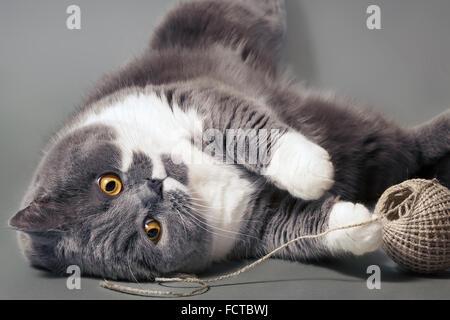 Porträt von eine süße British Kurzhaar-Katze - Stockfoto