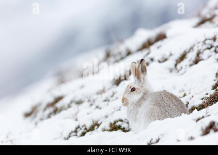 Schneehasen im Schnee und mit ihren weißen Wintermäntel, fotografiert in der Findhorn-Tal, Inverness-Shire, Schottland. - Stockfoto