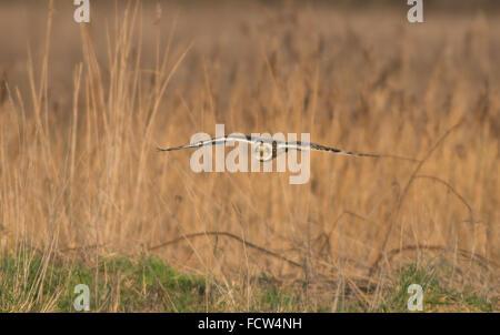 Short-eared Eule Asio Flammeus im Flug auf der Suche nach Nahrung. UK - Stockfoto