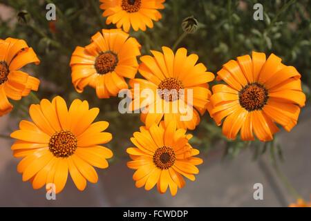 Dimorphotheca Sinuata, glanduläre Cape Marigold, jährliche ornamentalen Kraut mit orange Strahlen Köpfe mit dunkler - Stockfoto