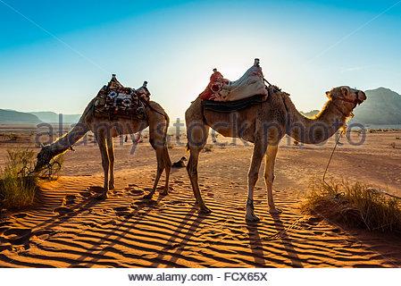 Kamele, Arabische Wüste, Wadi Rum, Jordanien. - Stockfoto