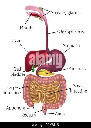Anatomie der menschlichen Bauchspeicheldrüse, mit Etiketten ...