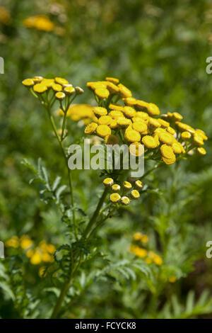 Gelbe Rainfarn Pflanze - Stockfoto