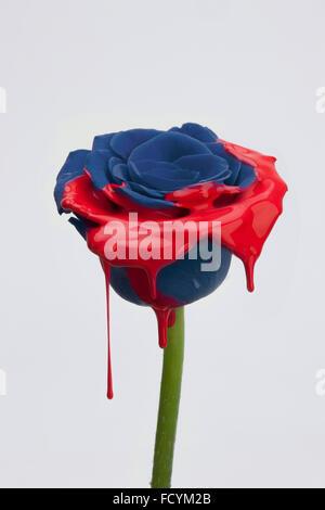 Dunkel blaue Rose mit roten Farbe und rote tropfte teilweise bemalt - Stockfoto
