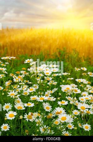 Kamillen gegen eine aufgehende Sonne über einem Weizenfeld - Stockfoto