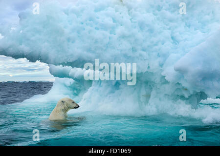Kanada, Territorium Nunavut, Unterwasser-Blick der Eisbär (Ursus Maritimus) schwimmen in der Nähe des Polarkreises - Stockfoto