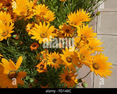 Dimophotheca Sinuata, Orange Namaqualand Daisy, beliebtes Garten Zier Kraut mit gezahnten Blättern und orangefarbenen - Stockfoto