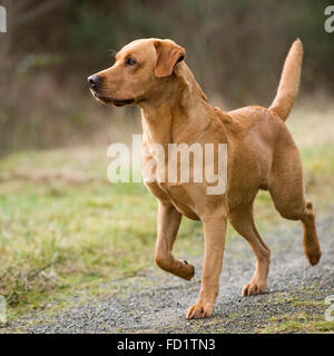 Fox red Labrador retriever - Stockfoto