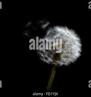 Samen Schlag frei aus dem Kopf eine hervorgehobene Löwenzahn vor einem dunklen Hintergrund. - Stockfoto