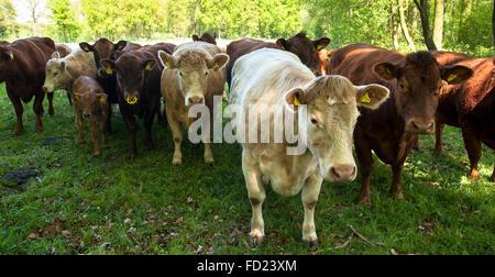 Europa, Deutschland, Nordrhein-Westfalen, Niederrhein, Charolais-Rinder auf einer Weide in der Nähe von Wesel. - Stockfoto