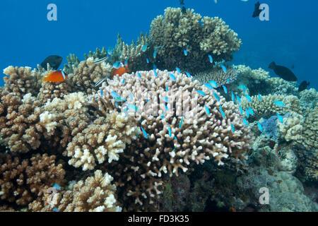 Steinkorallen (Acropora Nusata), Beqa Lagoon, Fidschi-Inseln. - Stockfoto