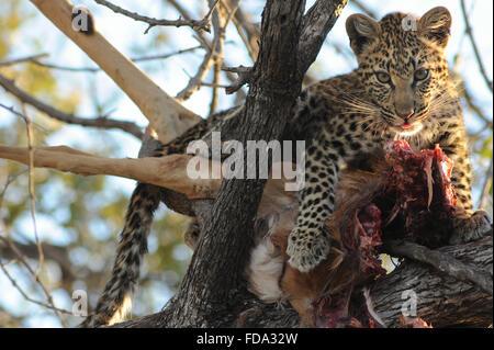 Weibliche Leopard (panthera pardus) Cub in Baum mit frischen Töten im Moremi Nationalpark, Botswana - Stockfoto