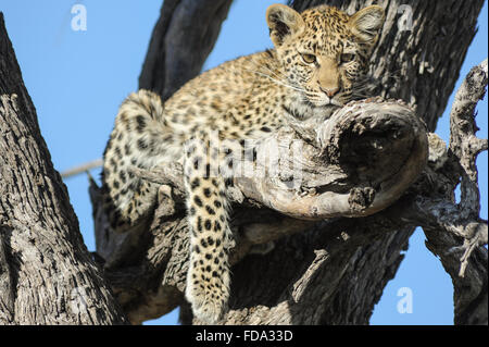 Leopard (panthera pardus) Cub in Baum gegen den klaren blauen Himmel im Moremi National Park (khwai Gebiet), Botswana - Stockfoto