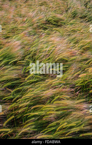 Feld Weizen Mais wehenden Wind Brise uk Stockfoto