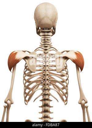 Menschlichen Schulter Muskulatur (Deltamuskel), Illustration ...