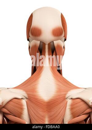Muskulatur von Nacken und Schultern, anatomische Abbildung Stockfoto ...