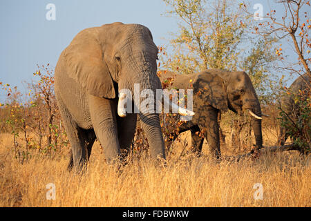 Großen afrikanischen Elefantenbullen (Loxodonta Africana), Krüger Nationalpark, Südafrika - Stockfoto