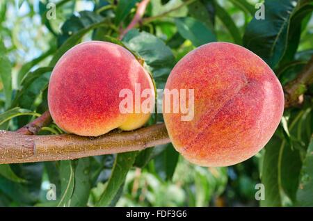 Reife Pfirsiche auf einem Ast nach einem Regen - Stockfoto