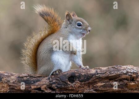 Östlichen Eichhörnchen macht Geräusche (Tamiasciurus oder Sciurus Hudsonicus) E Nordamerika - Stockfoto