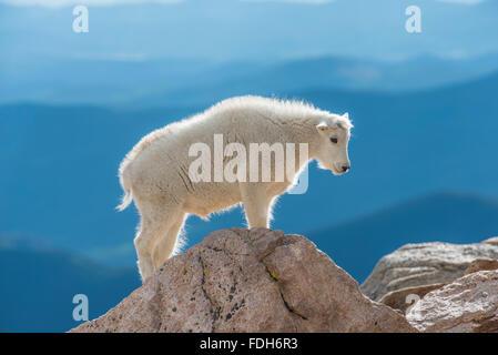 Bergziege (Oreamnos Americanus), Kid, Mount Evans Wilderness Area Rocky Mountains, Colorado USA - Stockfoto
