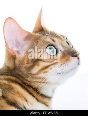 Junge weibliche Bengal Katze Portrait auf weißem Hintergrund Model Release: Nein Property Release: Ja (CAT). - Stockfoto