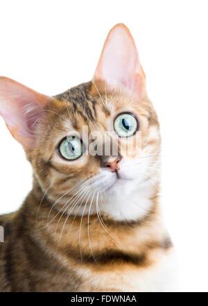 Junge weibliche Bengal Katze Portrait auf weißem Hintergrund isoliert Model Release: Nein Property Release: Ja (CAT). - Stockfoto