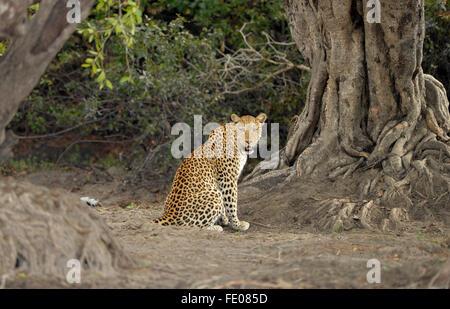 Afrikanischer Leopard (Panthera Pardus) erwachsenes Weibchen sitzen in Wald, clearing, rückblickend, Kafue Nationalpark, - Stockfoto