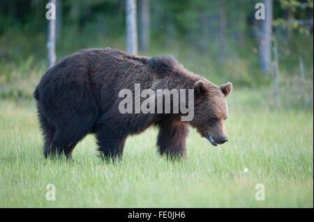 Europäischer Braunbär Ursus Arctos Arctos, Finnland - Stockfoto
