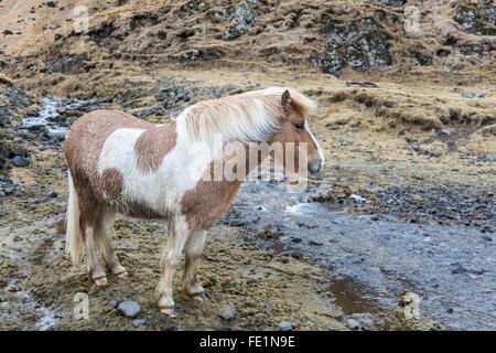 Island Pferd - Stockfoto