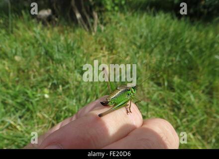 Grüne Form von Rösel Bush-Cricket (Metrioptera Roeselii), Weiblich, auf der Hand, mit Rasen im Hintergrund - Stockfoto