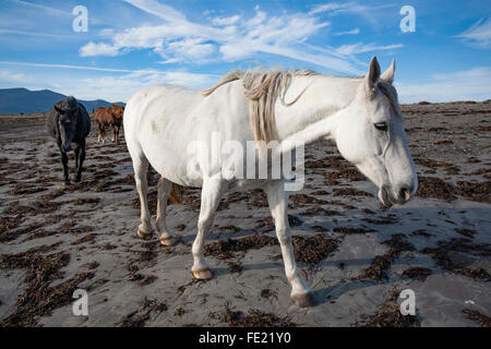 Pferde am Strand, The Magherees, Halbinsel Dingle, County Kerry, Irland. - Stockfoto